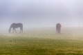 Two brown horse in enclosure early misty morning Royalty Free Stock Photography