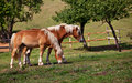 Two brown horses Royalty Free Stock Photos