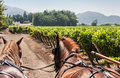 Horses Charriot in Vineyard Chile Royalty Free Stock Photo