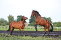 Two brown horses fighting in the herd for dominance Royalty Free Stock Image