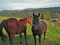 Two brown horses on a meadow in erzgebirge sunny day in autumn Royalty Free Stock Photos