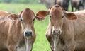 Two brown oxen on a fattening regimen