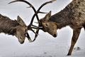 Two bucharski deer antlers in combat Royalty Free Stock Photos