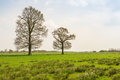 Two budding trees in the spring season grass of a flat polder area Royalty Free Stock Photography