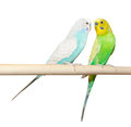 Two budgie sit on a perch over white background Stock Images