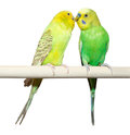 Two budgie sit on a perch over white background Royalty Free Stock Image