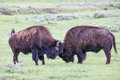 Two buffalos fighting Royalty Free Stock Photo