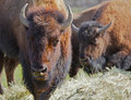 Two Buffalos soft background Royalty Free Stock Photos