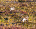 Two bull caribou on the fall tundra Royalty Free Stock Photo