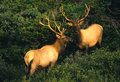 Two Bull Elk Royalty Free Stock Photography