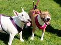 Two bull terriers posing for the picture terrier friends who stopped to pose a while on their walk Stock Photo