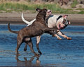 Two bulldog play fighting white american with a blue brindle old english Stock Image