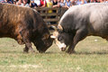 Two bulls Stock Images
