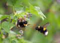 Two bumblebee in the flower first one on a second flight spring near moscow russia Royalty Free Stock Photo