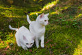 Two burmilla cats in the forrest Royalty Free Stock Photo
