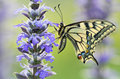 Beautiful machaon butterfly in wild nature on violet flowers Royalty Free Stock Photo