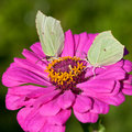 Two butterflies on pink flower close up brimstone feed pollen zinnia Stock Photography