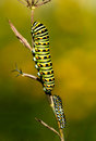 Two butterfly larvae a close up look at crawling up a stem in the later summer Royalty Free Stock Image