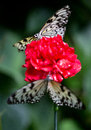 Two butterflys on a flower big sitting red Royalty Free Stock Photos
