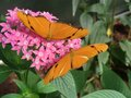 Two butterflys orange on pink flower blooms Stock Photography