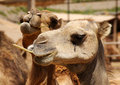 Two camels fuerteventura canary islands Royalty Free Stock Images