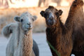 Two camels on sunset surprised looking at the viewer in a zoo in the crimea the setting sun and bright wool Stock Photos
