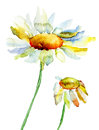 Two camomile flowers watercolor illustration Royalty Free Stock Photo