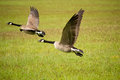 Two Canada Geese Flying Stock Images