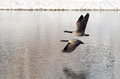 Two Canada Geese Taking to Flight from a Winter Lake Royalty Free Stock Photo