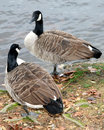 Two Canadian geese looking at each other Royalty Free Stock Image