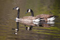 Two Canadian Geese swimming Royalty Free Stock Photo