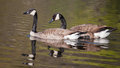 Two canadian geese swimming in a pond Stock Images