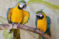Two captive parrots squawking together in the shade Stock Photo