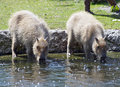 Two capybaras taking a drink of water on a hot summer day Royalty Free Stock Photos
