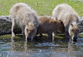 Two capybaras taking a drink of water on a hot summer day accompanied by a third younger one Royalty Free Stock Images