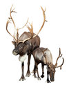 Two caribou Royalty Free Stock Photo