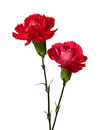 Two carnations Royalty Free Stock Photo