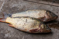 Two carp has just caught on a fishing trip Royalty Free Stock Photo