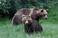 Two carpathian brown bear walking to the forest Royalty Free Stock Photo