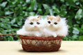 The two cat or kittens in the basket. Royalty Free Stock Photo