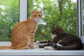 Two cat sitting on the window sill red and grey Royalty Free Stock Photography