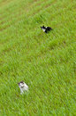 Two cats in green field black and white cat of grass Royalty Free Stock Images