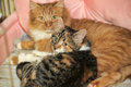 Two cats lie nearby red and tricolor Royalty Free Stock Photos