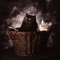 Two cats sitting basket front dark background Royalty Free Stock Photos