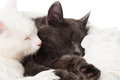 Two cats sleeping on a white veil Royalty Free Stock Photo