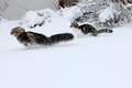 Two cats in the snow Royalty Free Stock Image