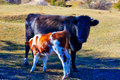 Two cattle Royalty Free Stock Photo