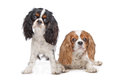 Two Cavalier King Charles Spaniel dogs Royalty Free Stock Image