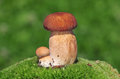 Two ceps on a moss photo of Stock Photos