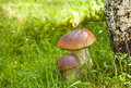 Two ceps in wood Royalty Free Stock Photo